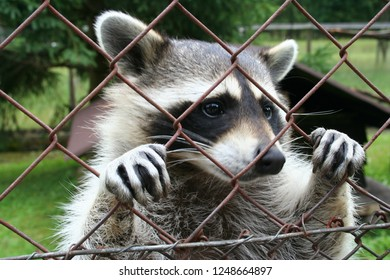 Raccon at a fence