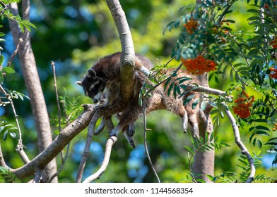raccon hanging in the tree and resting