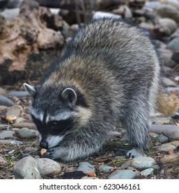 Raccoon, or American raccoon is a carnivorous mammal.