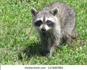 Raccoon Approaches slowly toward photographer
