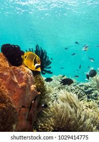 Raccoon Butterfly fish coral near Bunaken, Indonesia