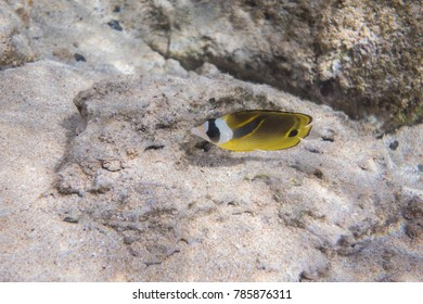 A raccoon butterfly fish underwater in Hawaii.