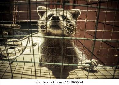 Raccoon in captivity. Portrait of raccoon  closeup in cage