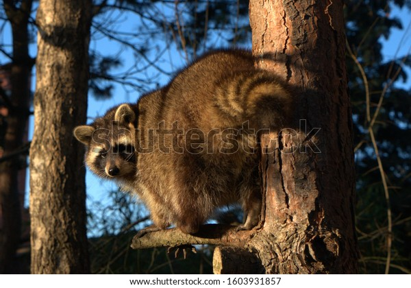 Raccoon climbs on the tree in the forest