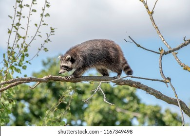 Raccoon climping in the tree