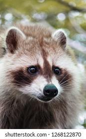 Raccoon Close Up
