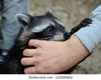 Raccoon close-up, plays hugs man's hand. Friendship of a man and a small raccoon. Muzzle raccoon close-up, contact zoo. Day, light.