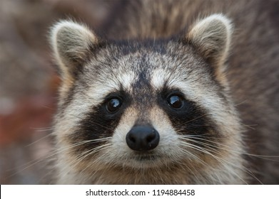 Raccoon closeup portrait