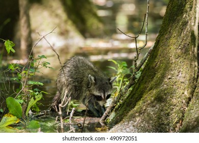 raccoon in the Congaree National Park