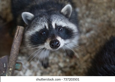raccoon in contact zoo, furry procyon, pet lotor, wild racoon
