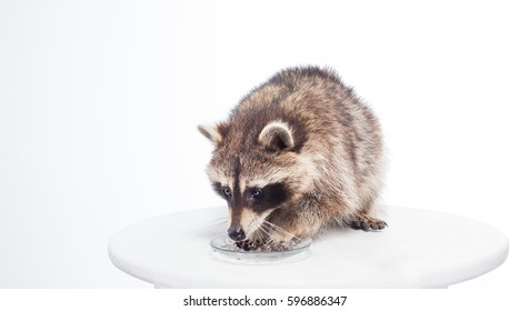 raccoon cute fluffy thief and bully, portrait in studio, isolated on white background, raccoon is having breakfast, furry procyon, pet lotor, wild racoon