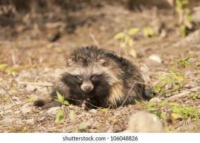 Raccoon Dog in autumn