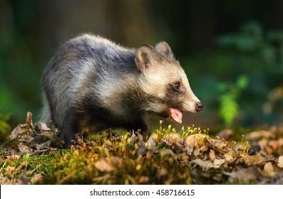 Raccoon dog chewing