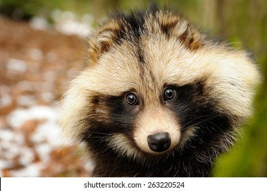 Raccoon dog cute close-up potratit in the winter forest