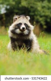 Raccoon dog in grass