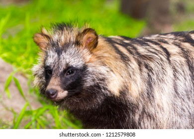 Raccoon dog or mangut