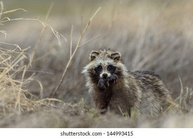 Raccoon dog mother with cub