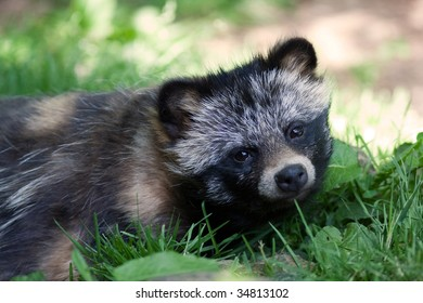 Raccoon dog [Nyctereutes procyonoides]