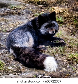 Raccoon dog. Nyctereutes procyonoides