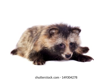 Raccoon Dog  (Nyctereutes procyonoides) isolated on the white background
