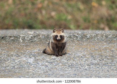 Raccoon Dog (Nyctereutes procyonoides) in Japan