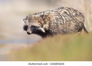 Raccoon dog (Nyctereutes procyonoides). Kinburn peninsula, Ukraine