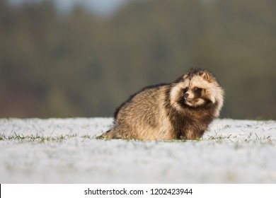 Raccoon dog (Nyctereutes procyonoides) or tanuki is a canid indigenous to East Asia. It is the only extant species in the genus Nyctereutes.