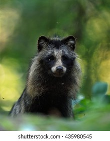 Raccoon dog portrait in forest