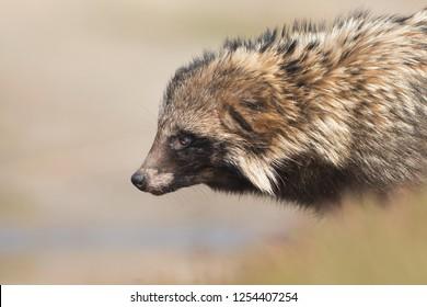 Raccoon dog portrait. Nyctereutes procyonoides