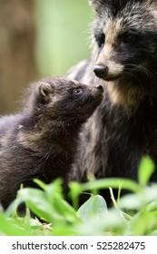 Raccoon dog pup with mother. Raccoon dog family. Animal love.