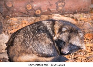 raccoon dog sleeps