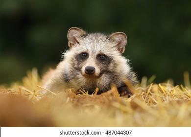 Raccoon dog in stubble