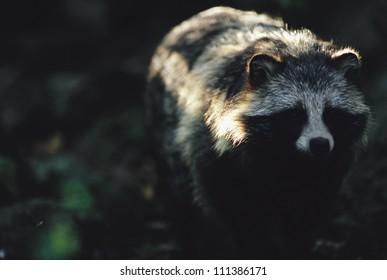 Raccoon dog, Sweden