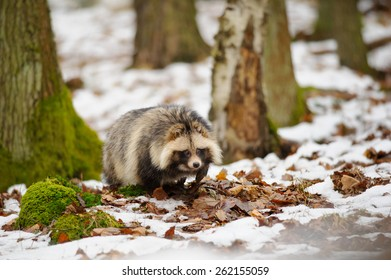 Raccoon dog walking in the winter forest