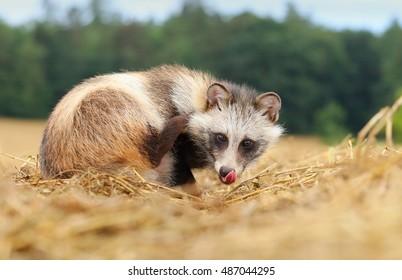 Raccoon doggy licking