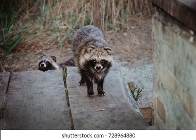 raccoon dogs came to the man's house in search of food
