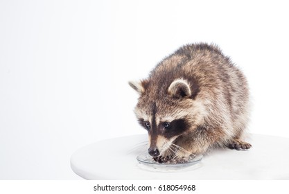 raccoon dressed in sailor`s vest,  cute fluffy thief and bully, portrait in studio, isolated on white background, raccoon is having breakfast