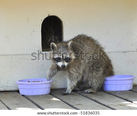 Raccoon eats food from a doggy dish.