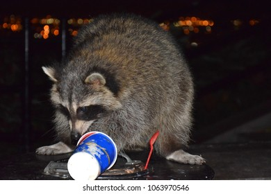 A raccoon foraging for food in an urban environment at night
