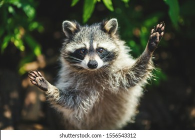 Raccoon in the forest with raised paws