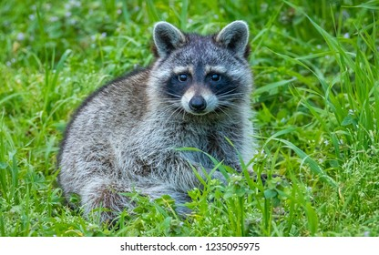 Raccoon in the grass is looking at the camera