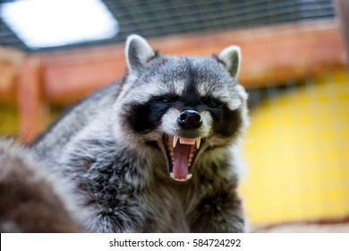 Raccoon growls