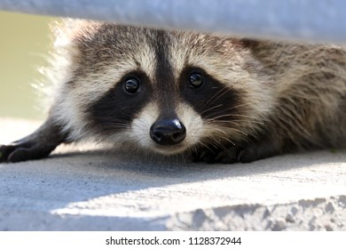 Raccoon hiding under a railing.