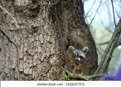 raccoon, also known as raccoon, north american raccoon, northern raccoon or kun in a hollow tree