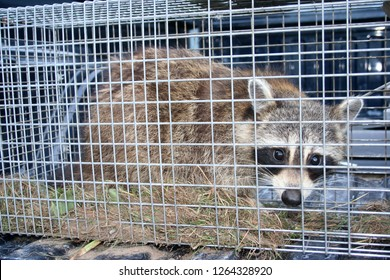 Raccoon in live humane trap