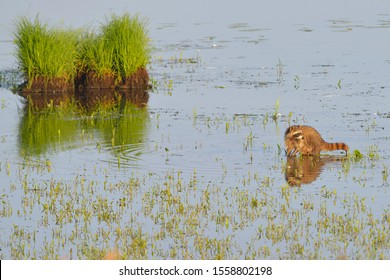 Raccoon look for Gastropoda in a lake in upper lusatia