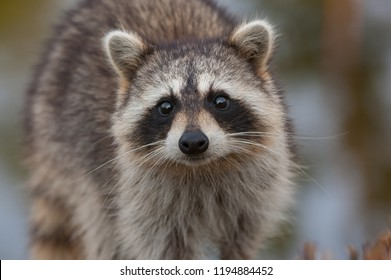 Raccoon looking directly