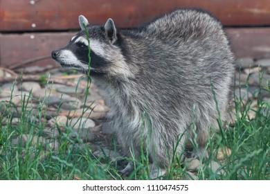 Raccoon in Moscow Zoo