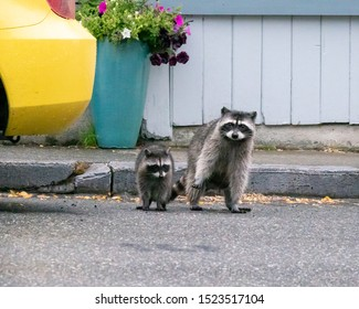 A raccoon mother and baby prepare to cross the street