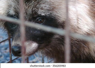the raccoon (Nyctereutes procyonoides) in a cage